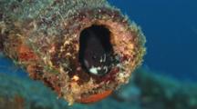 Blenny In A Pipe On The Nasi Yalodina Shipwreck In Fiji