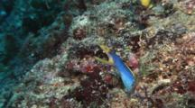Blue Ribbon Eel (Male), Rhinomuraena Quaesita, In Burrow On Coral Reef