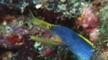 Blue Ribbon Eel (Male), Rhinomuraena Quaesita, In Burrow On Coral Reef. Looks At Camera