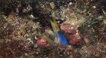 Blue Ribbon Eel (Male), Rhinomuraena Quaesita, Peeks Out From Burrow