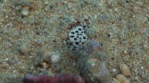 Sea Cucumber Crab, Lissocarcinus Orbicularis, Clings To White Teatfish, Holothuria (Microthele) Fuscogilva