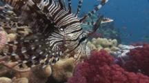 Red Lionfish (Common Lionfish), Pterois Volitans, Over Coral Reef With Spines Spread