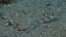 Steinitz' Prawn-Goby, Amblyeleotris Steinitzi, Guards While Snapping Shrimp Digs Sand Burrow