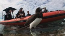 Brown Booby, Sula Leucogaster, Flaps Its Wings While Scuba Divers Watch From Small Boat