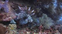 Red Lionfish (Common Lionfish), Pterois Volitans, At Bottom Of Coral Reef