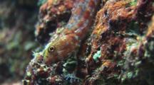 Variegated Lizardfish, Synodus Variegatus, Flees