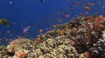 Coral Reef With Colorful Tropical Fish Including Anthias And Butterflyfish