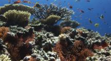 Coral Reef With Sea Anemones, Staghorn Coral, Table Corals And Anemonefish