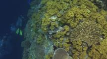 Scuba Divers Swim Next To Reef Covered In Yellow Leather Coral, Sarcophyton Elegans, With Exhaust Bubbles