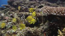 Golden Damsels, Amblyglyphidodon Aureus, On Coral Reef