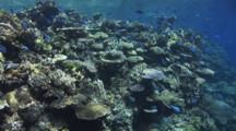 Coral Reef Dappled In Sunshine With Blue-Green Chromis Viridis