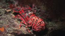 Regal Slipper Lobster, Arctides Regalis, Crawling On Reef At Night