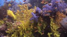 Chironephthya Soft Coral With Lyretail Anthias And Dendronephthya Soft Coral