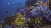 Coral Reef With Dendronephthya Soft Coral (Carnation Coral)