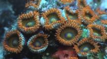 Button Polyps (Zoanthus Sociatus). Pretty Zoanthids