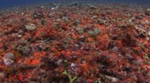 Sea Bed Covered In Bright Orange Button Polyps (Zoanthus Sociatus)