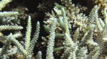School Of Juvenile Harlequin Filefish, Oxymonacanthus Longirostris, Shelters Amongst Staghorn Coral, Acropora Sp.