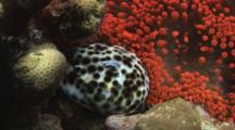 Tiger Cowrie (Tiger Cowry), Cypraea Tigris, With Bubble-Tip Anemone, Entacmaea Quadricolor
