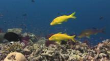Goldsaddle Goatfish (Yellowsaddle Goatfish), Parupeneus Cyclostomus, Hunting With Bullethead Parrotfish