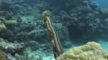 Graeffe's Sea Cucumber, Pearsonothuria Graeffei, Stands Up On Lobe Coral To Spawn