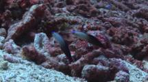 Pair Of Purple Firefish, Nemateleotris Decora, Dive Into Sand