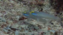 Pair Of Blueband Gobies, Valenciennea Strigata, On Seabed Feeding