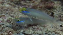 Pair Of Blueband Gobies, Valenciennea Strigata, At Rest On Seabed