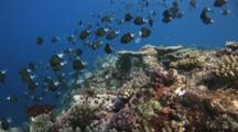 Shoal Of Stout Chromis, Chromis Chrysura, Spawning Over Coral Reef