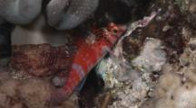 Dwarf Hawkfish, Cirrhitichthys Falco, Resting At Night Under Mushroom Leather Coral