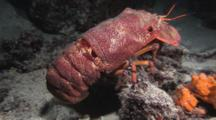 Blunt Slipper Lobster (Scaly Slipper Lobster), Scyllarides Squammosus, Crawls Over Seabed At Night. Part 1