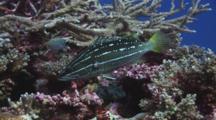 Slender Grouper, Anyperodon Leucogrammicus, Shelters In Hard Coral Reef