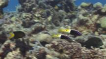 Pair Of Bicolor Goatfish, Parupeneus Barberinoides, Swim Quickly Over Coral Reef