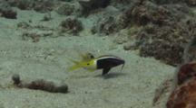 Pair Of Bicolor Goatfish, Parupeneus Barberinoides, Forage For Food In Sand With Barbels