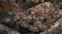 Sculptured Slipper Lobster, Parribacus Antarcticus, Retreats