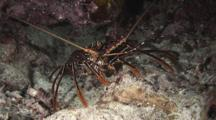Longlegged Spiny Lobster, Panulirus Longipes, At Night