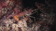 Longlegged Spiny Lobster, Panulirus Longipes, Crawls Over Coral Reef At Night