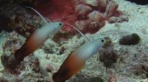 Pair Of Firefish (Fire Goby), Nemateleotris Magnifica, Turn Unison With Current