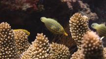 Pair Of Harlequin Filefish, Oxymonacanthus Longirostris, Feeding On Cauliflower Coral, Pocillopora Sp.