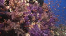 Pretty Coral Reef With Purple Dendronephthya Soft Coral And Lyretail Anthias, Pseudanthias Squamipinnis