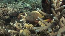 Freckled Hawkfish (Blackside Hawkfish), Paracirrhites Forsteri, Poised In Staghorn Coral. Flees