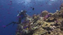 Scuba Diver Rests On Coral Reef With School Of Magenta Slender Anthias, Luzonichthys Waitei