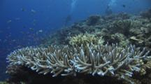 Distant Scuba Divers Over Hard Coral Reef With Hoeksema's Staghorn Coral, Acropora Hoeksemai