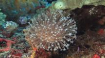 Leather Coral, Sarcophyton Glaucum