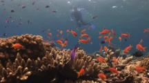 Snorkeller Photographs Pretty Coral Reef With Lyretail Anthias And Leather Coral, Sinularia Sp.