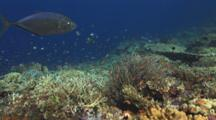 Barcheek Trevally Swim Over Coral Reef With Gorgonian Sea Plume, Rumphella Sp.