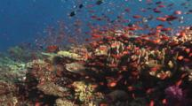 Pretty Coral Reef Teeming With Marine Life - Part 1, Including Lyretail Anthias, Pseudanthias Squamipinnis