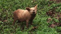Pig At Navatu Village, Fiji