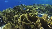 Yellow Scroll Coral (Cabbage Coral), Turbinaria Reniformis, Dappled In Sunlight