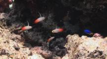 School Of Juvenile Firefish (Fire Goby), Nemateleotris Magnifica, Feeding In Current