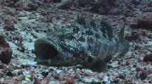Camouflaged Malabar Grouper, Epinephelus Malabaricus. Opens Mouth And Raises Dorsal Fin As Display, Then Flees